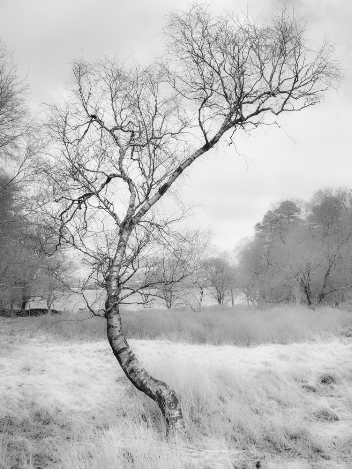 Silver Birch in Infrared. Captured using an infrared converted GX1.