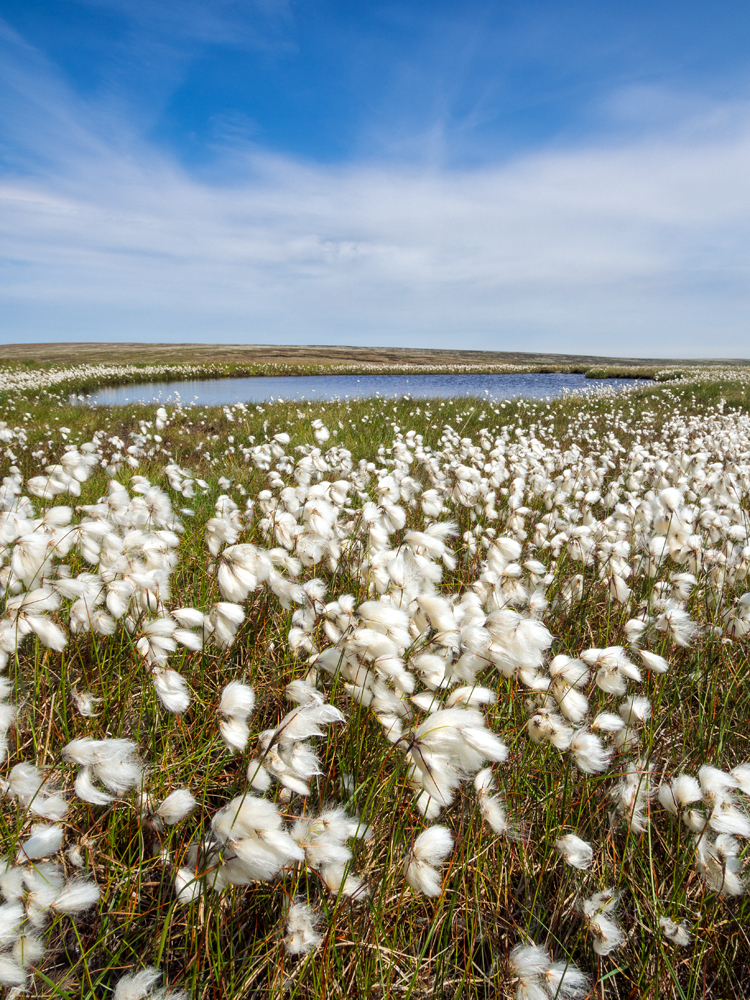 The cotton grass on the moors this year is amazing. I have never seen so much. From a distance it looks like patches of snow.