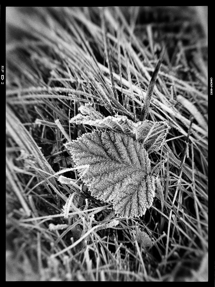 Frosty leaf. Converted to Black and White using Nik Silver Efex Pro 2.