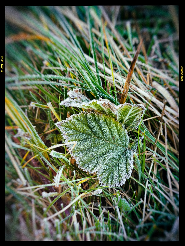 Frosty leaf version 2. Click the image to view a large version.
