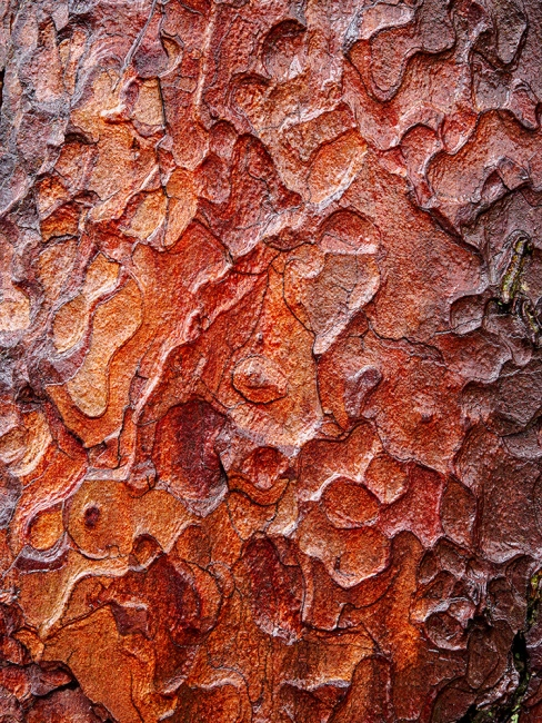 Wet bark on a pine tree. Three images taken on an Olympus EM5. The images were shot for focus stacking using Helicon Focus.