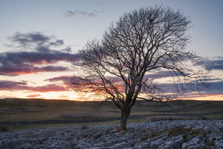 Lone tree at sunset, above Malham, The Yorkshire Dales.