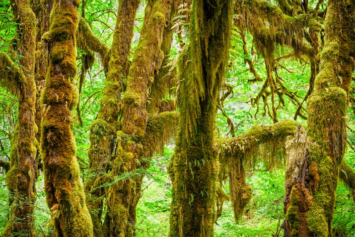 The Hall of Mosses Trail, Hoh Rainforest