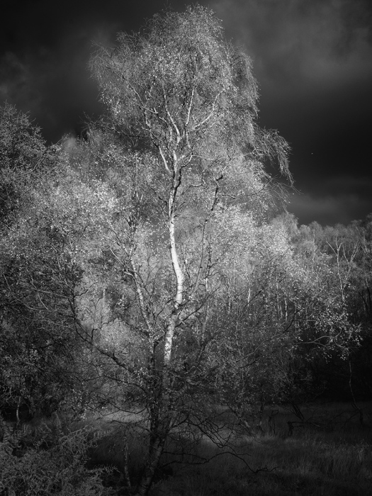 "Silver Birch on Place Fell, The Lake District. Olympus EM5 converted to shoot Infrared. Olympus 12-40mm lens, ISO 200, 1/320"" at f/7.1."