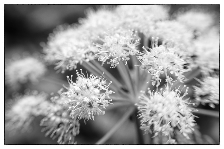 Flower shot with the Lensbaby Composer Pro Sweet 35