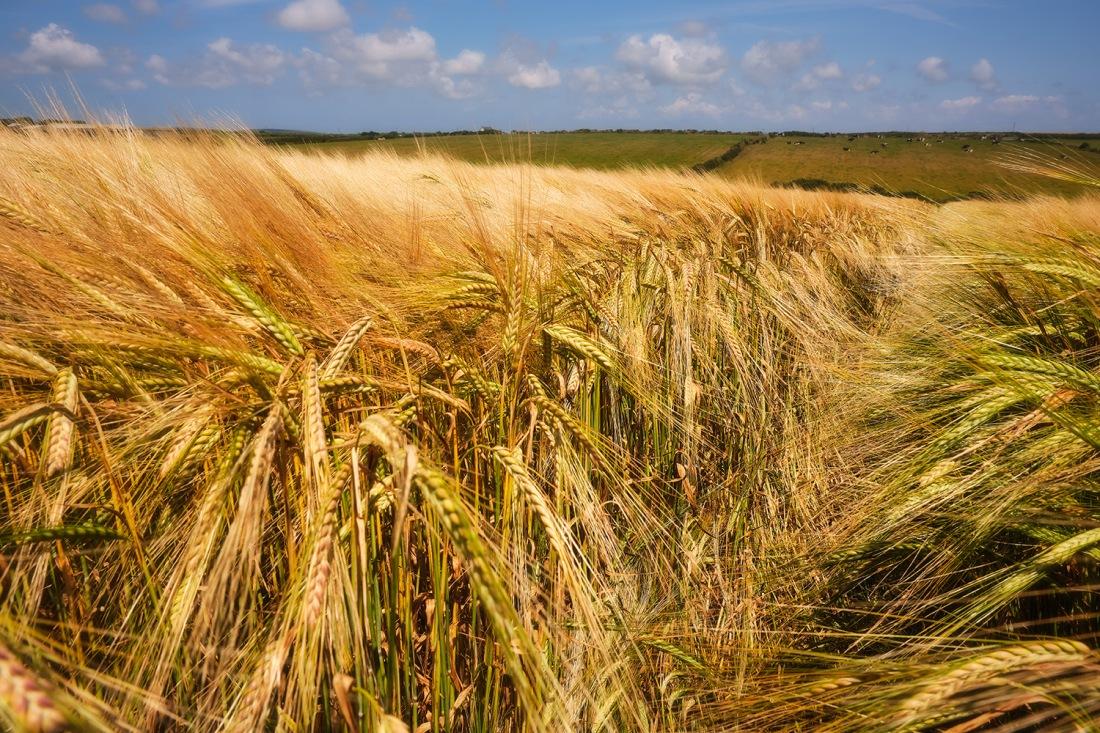 Wheat field, near Lands End, Cornwall.