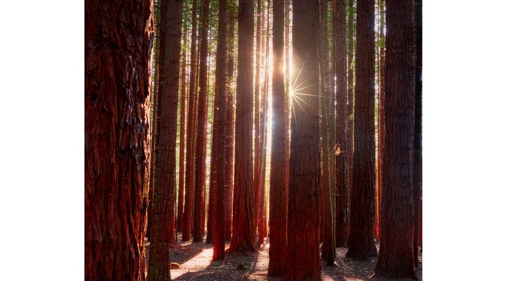 Whakarewarewa Forest Redwood Trees