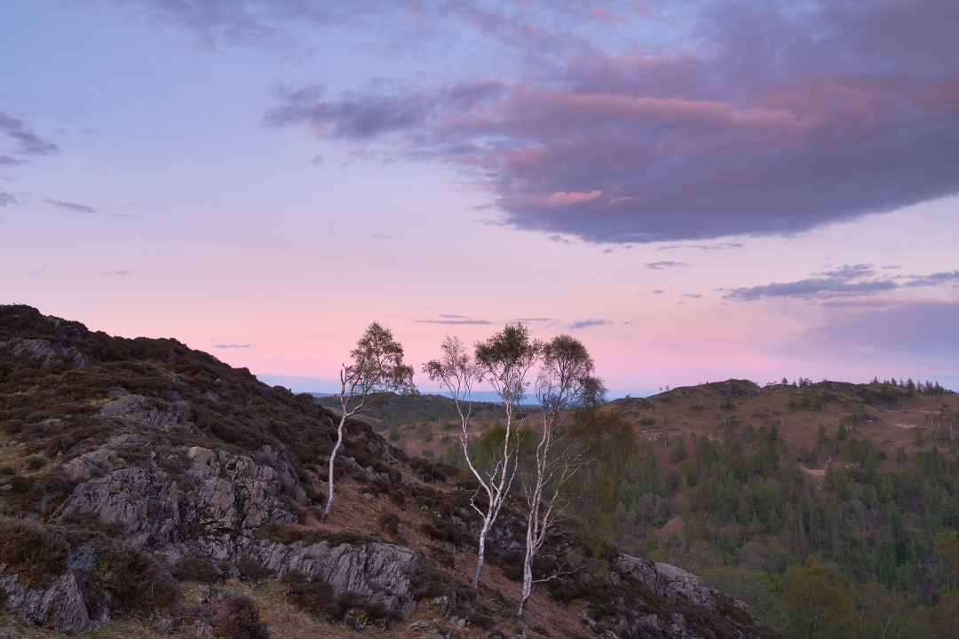 Silver Birch on Holme Fell at sunset. Fuji XT3 with Fuji 18-135 lens.